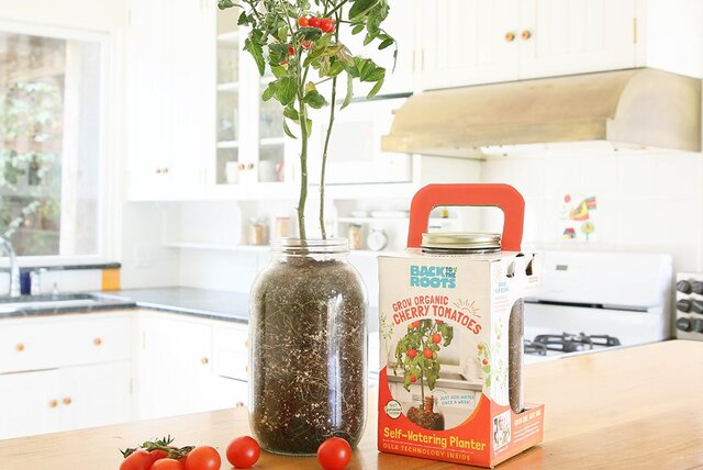 Glass jar with a tomato plant planted in it, on a counter top next to a tomato plant package