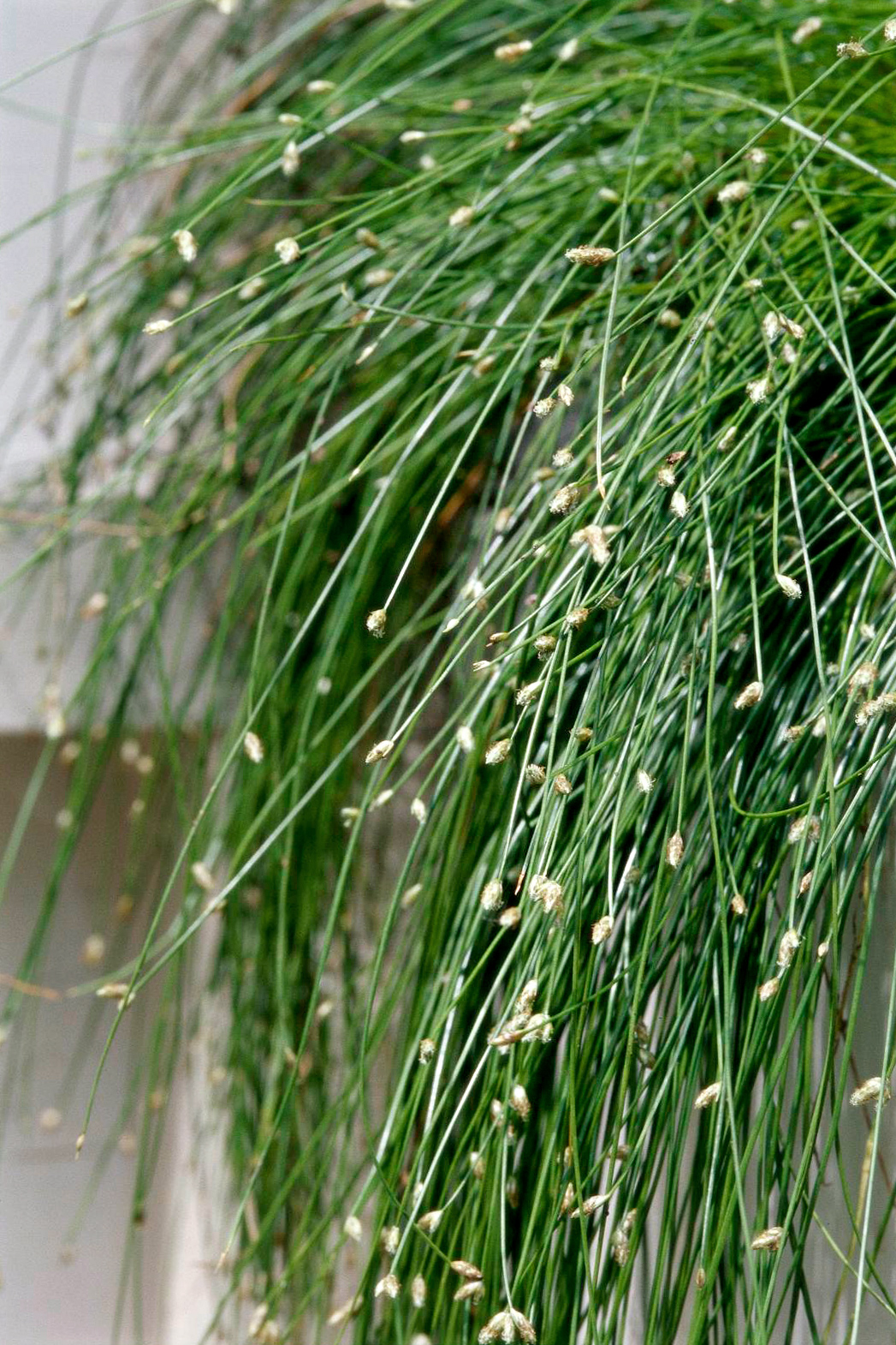 fiber optic grass isolepis detail