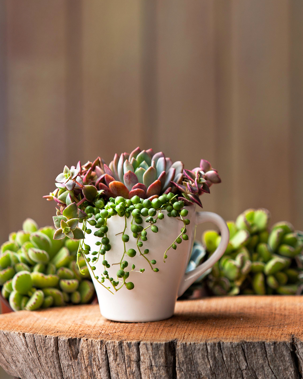 white teacup planter with succulents inside