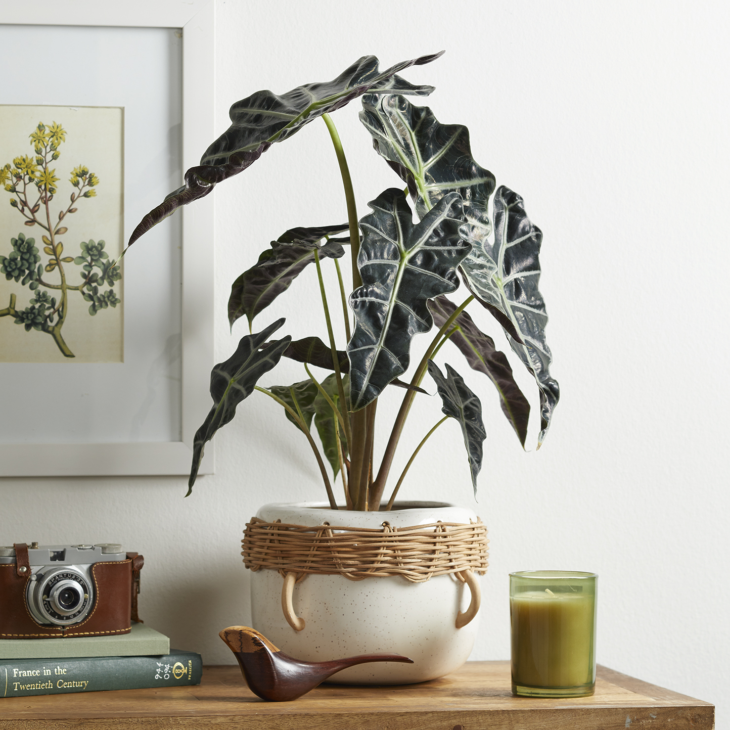 Elephant's ear houseplant sitting on shelf