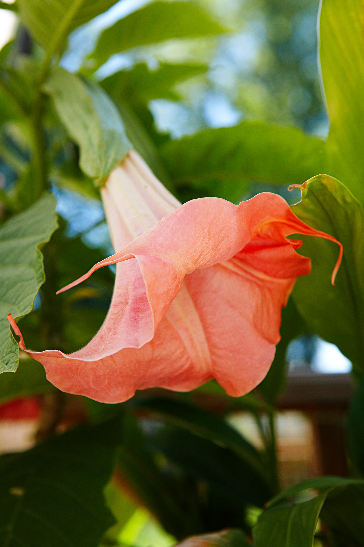 'Mango Crush' Angel's Trumpet Brugmansia