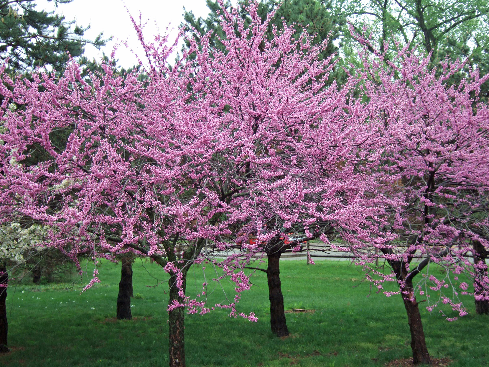 Eastern redbud, Cercis canadensis