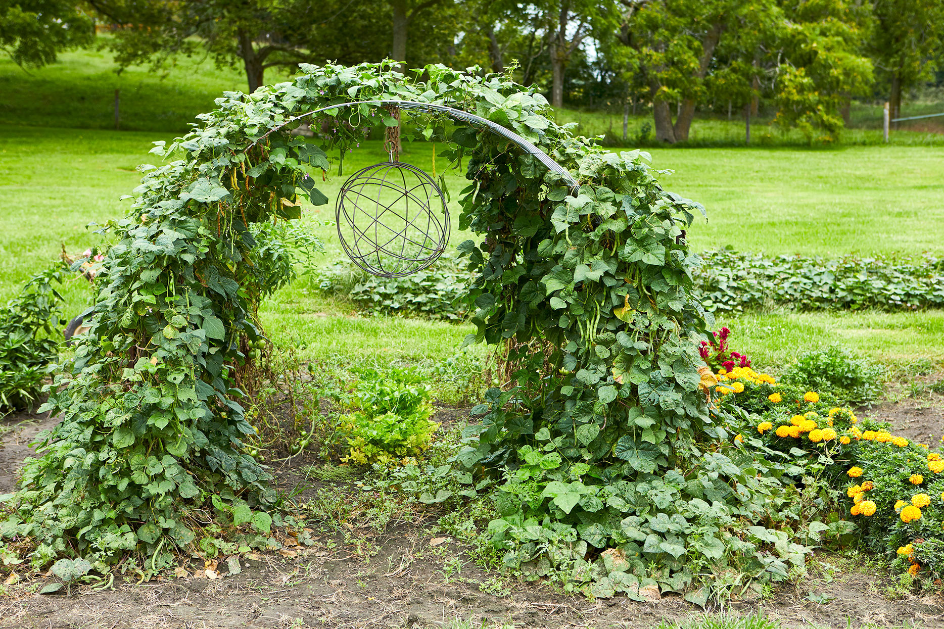 arched trellis with mature bean plant