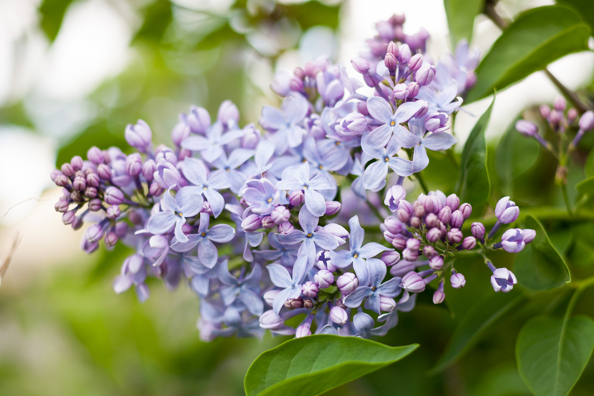 blooming violet lilac flowers