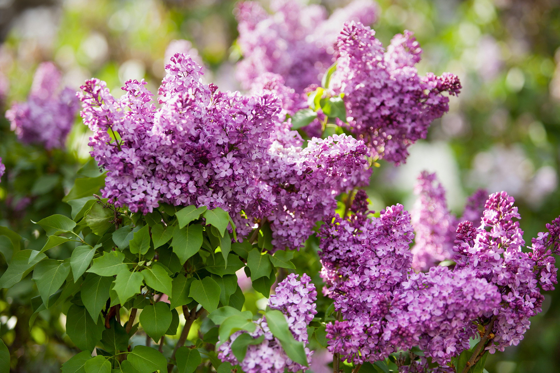 close up of purple lilacs blooming