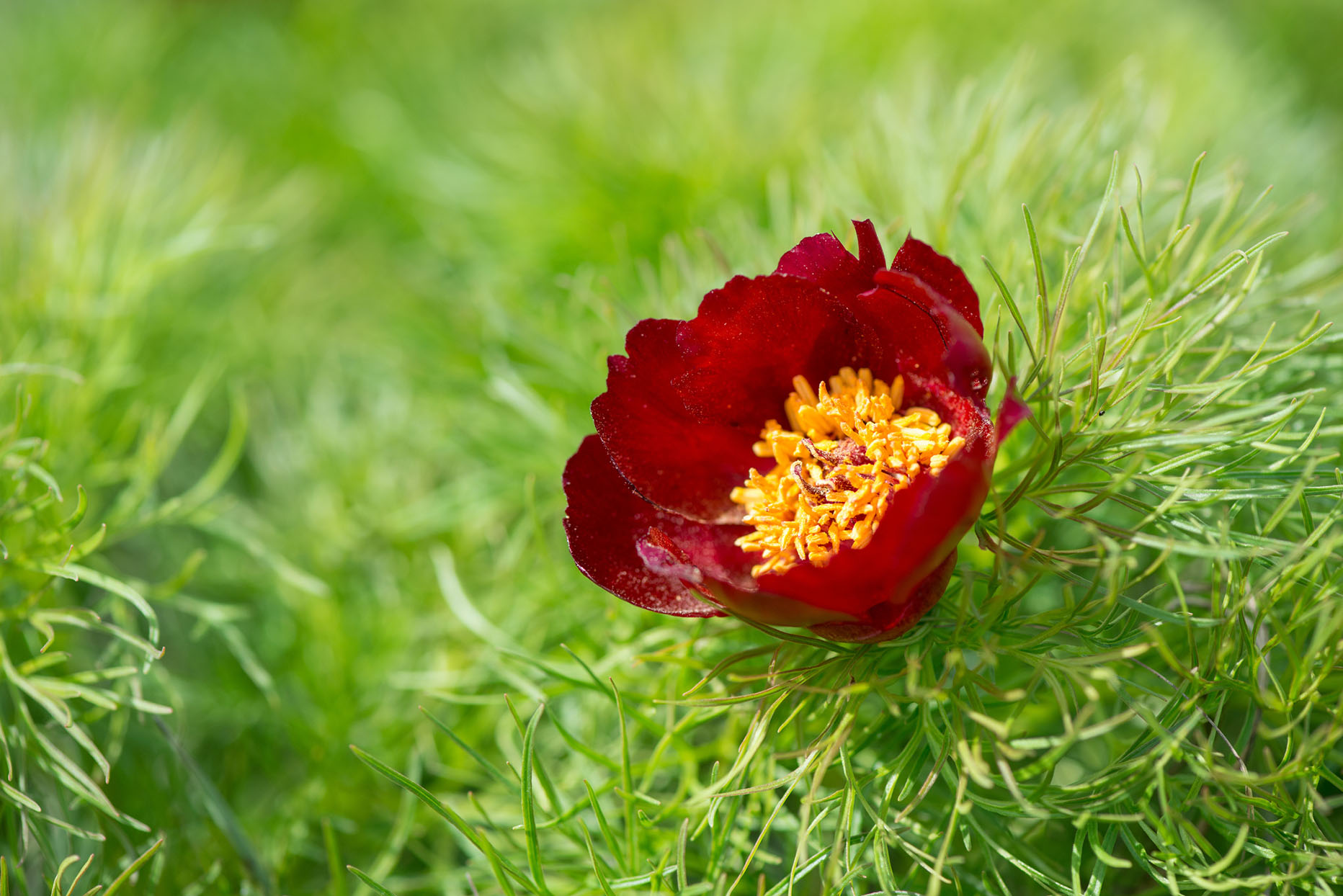 One red bloom with yellow stamen in center on green foliage that looks like asparagus fern, fernleaf peony