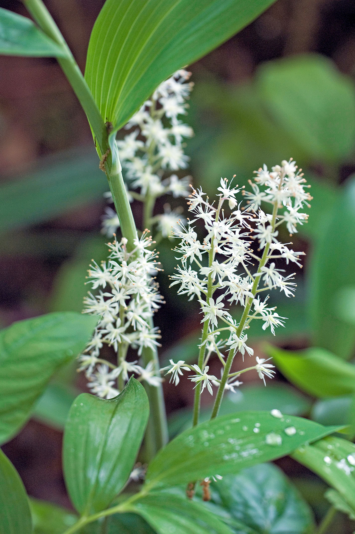 white foamflower tiarella detail