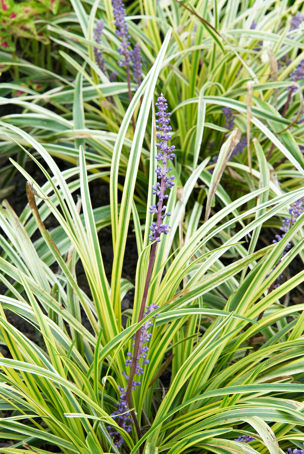 liriope purple flowers grass-like leaves