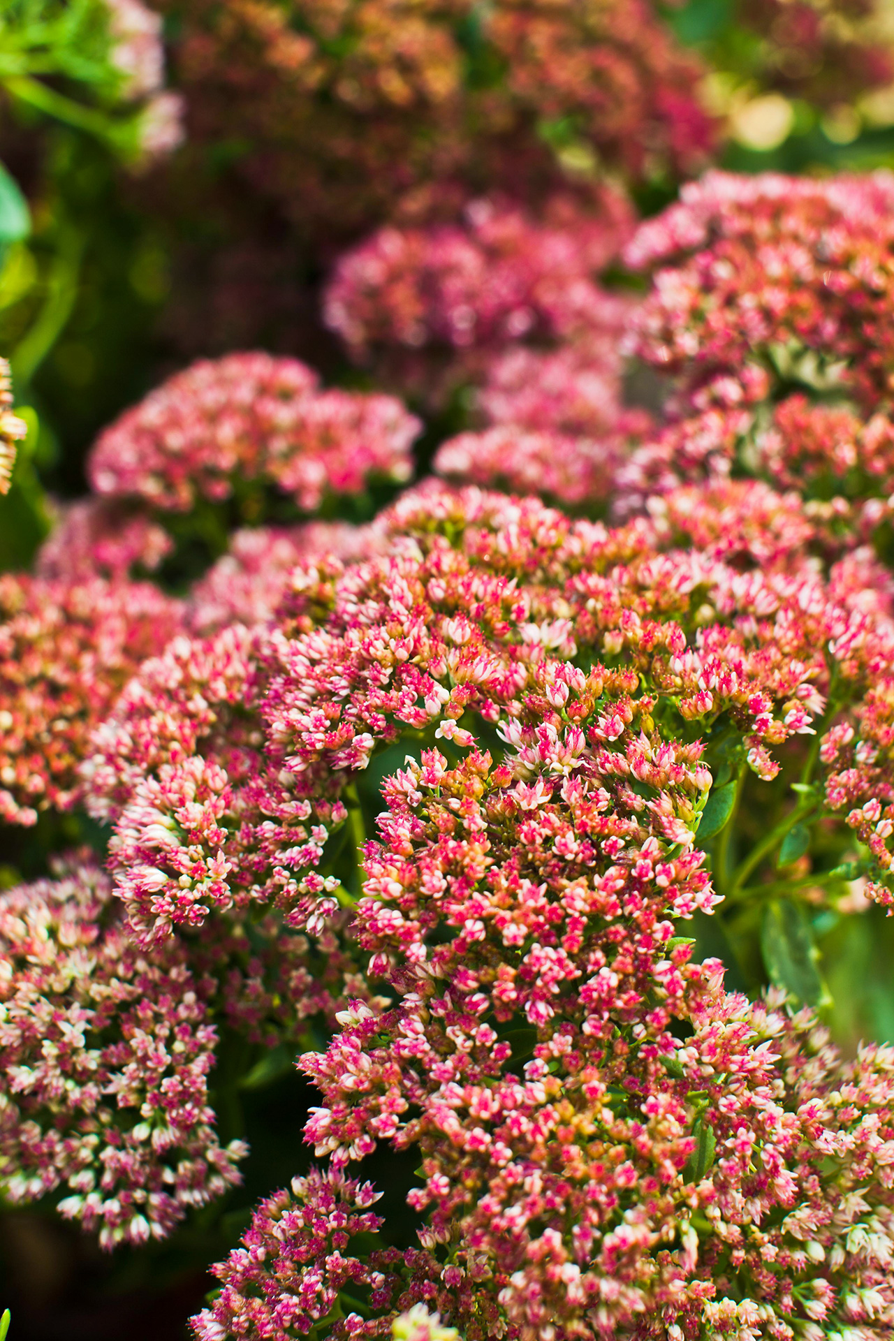autumn joy sedum perennials