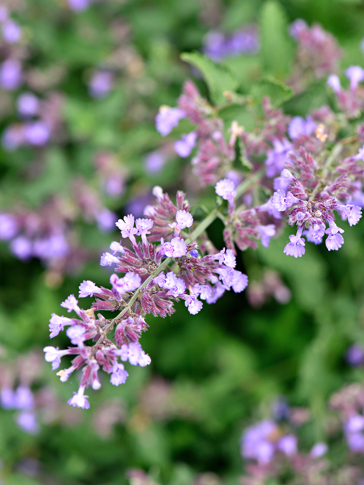 catmint walkers low detail