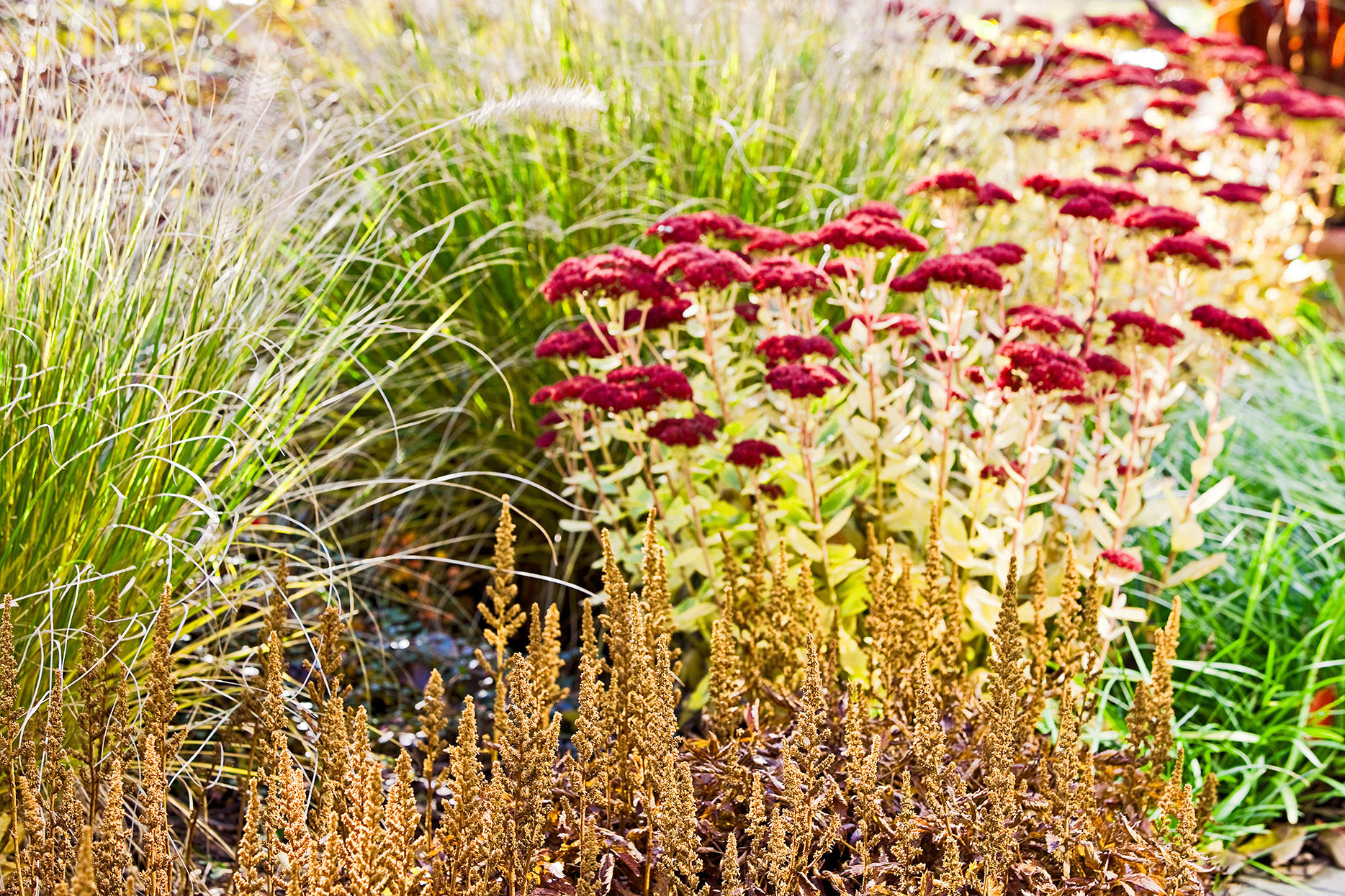autumn joy sedum and hameln ornamental grass