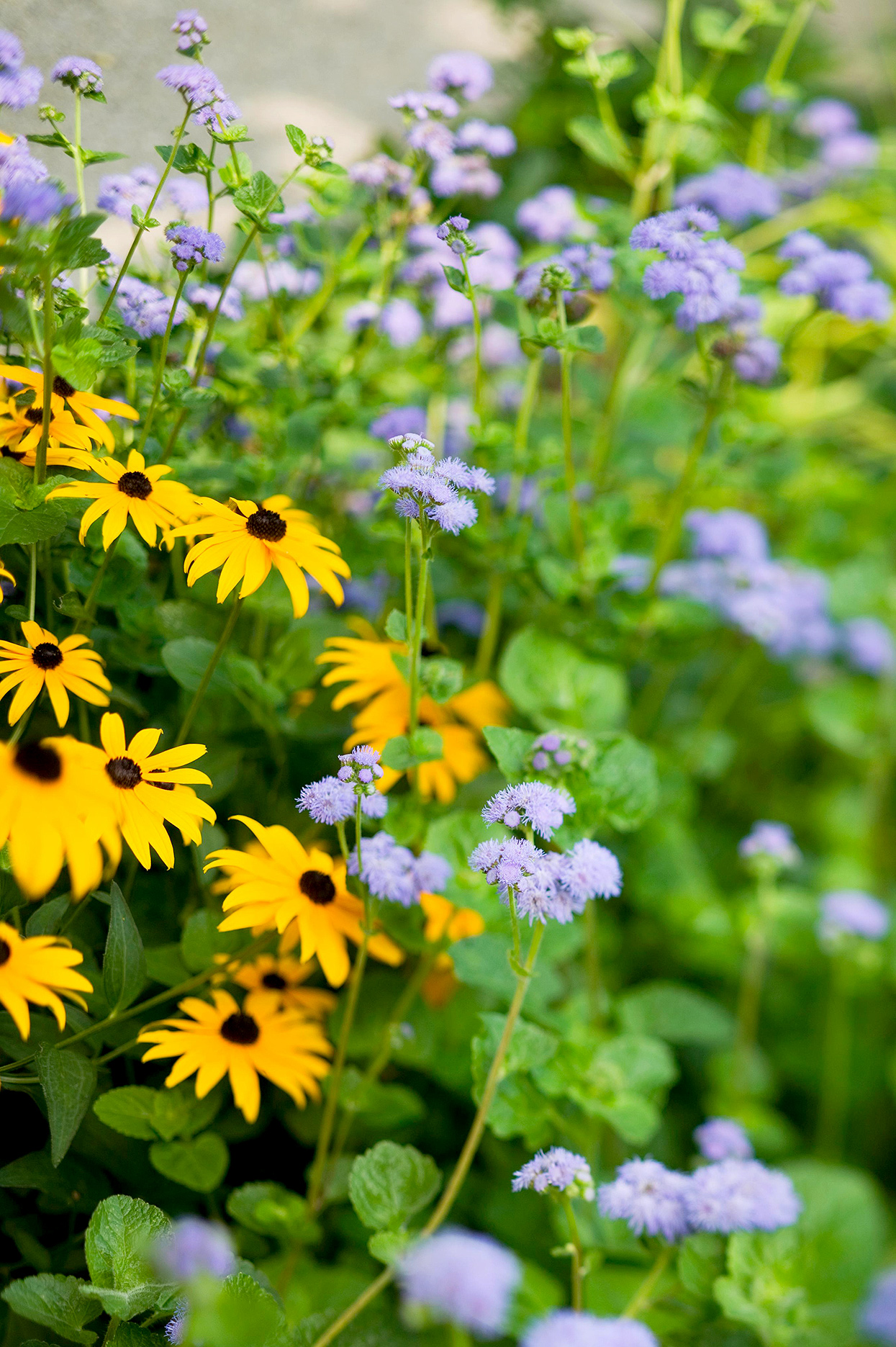 black-eyed susan and ageratum pollinators