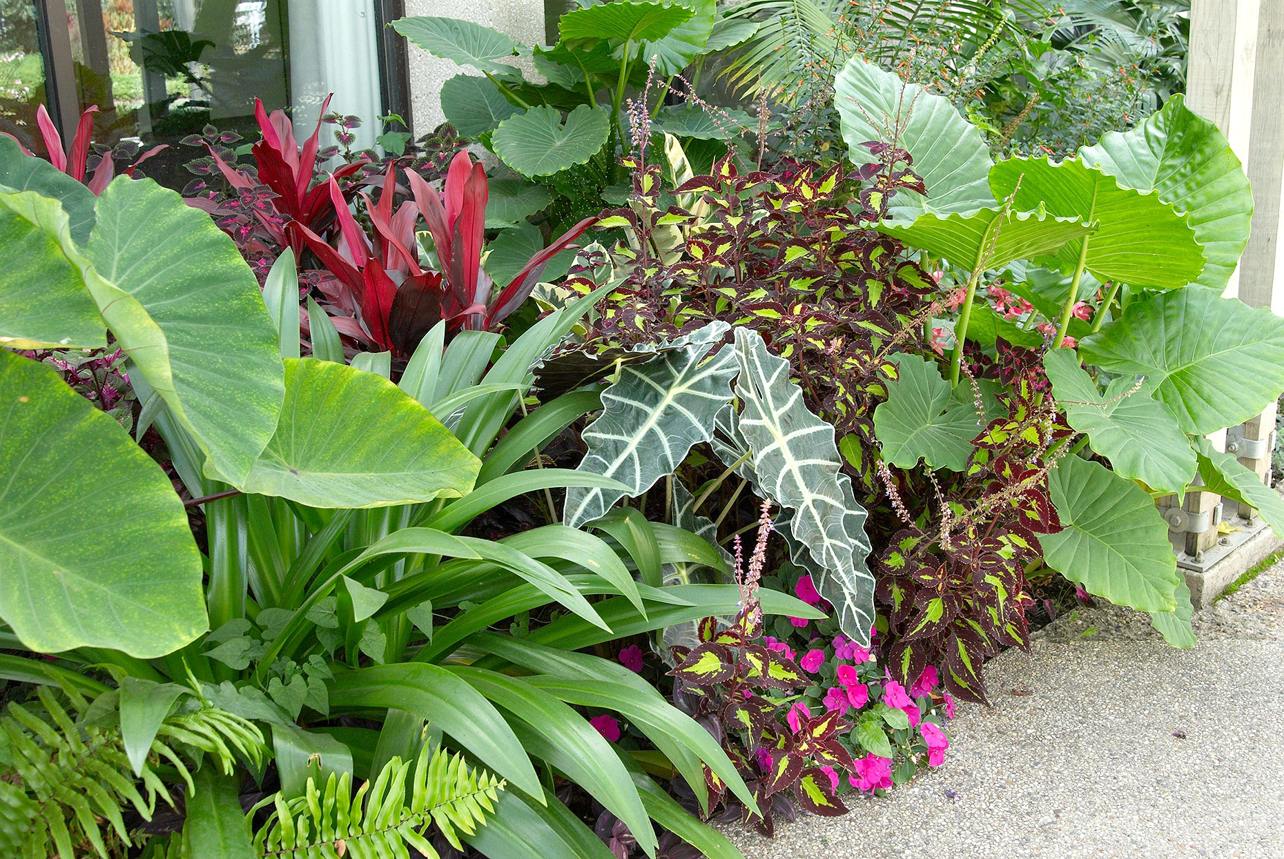 border with alocasia coleus cuphea and ficus