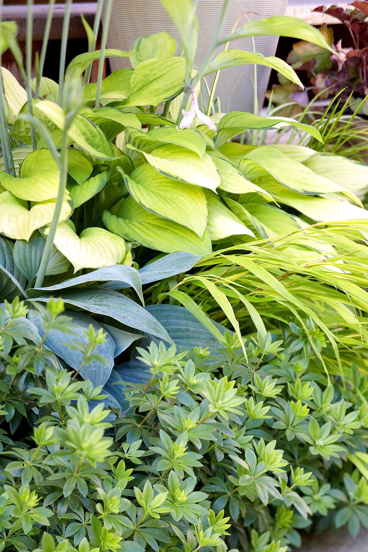 japanese grass hosta woodruff and heuchera