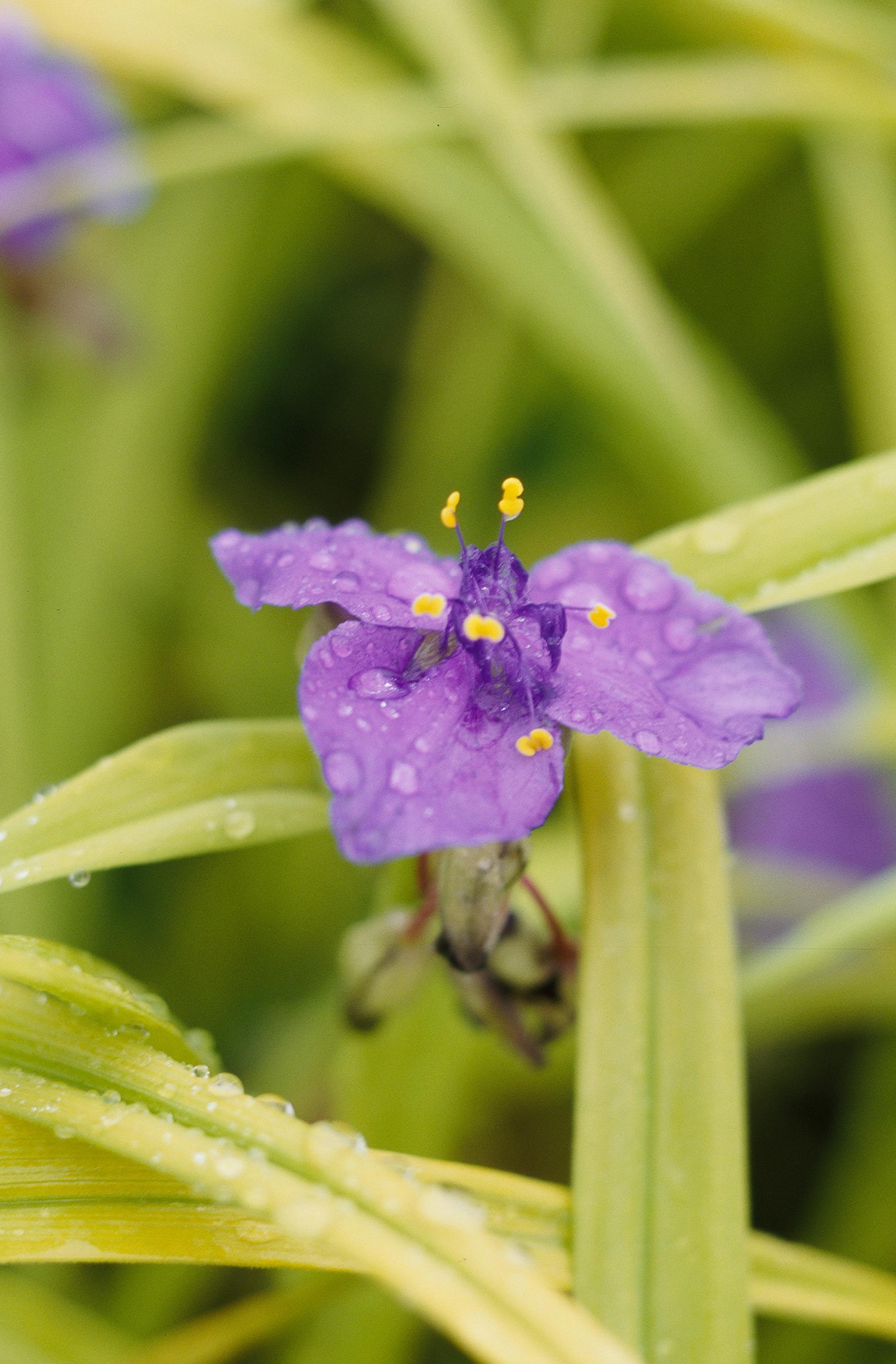 blue and gold tradescantia spiderwort