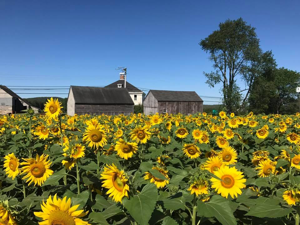 Field of yellow sunflowers with orange centers in front of three farm buildings