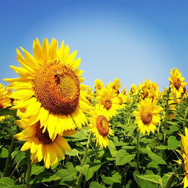 Close up of yellow sunflower with orange center, blue sky in background