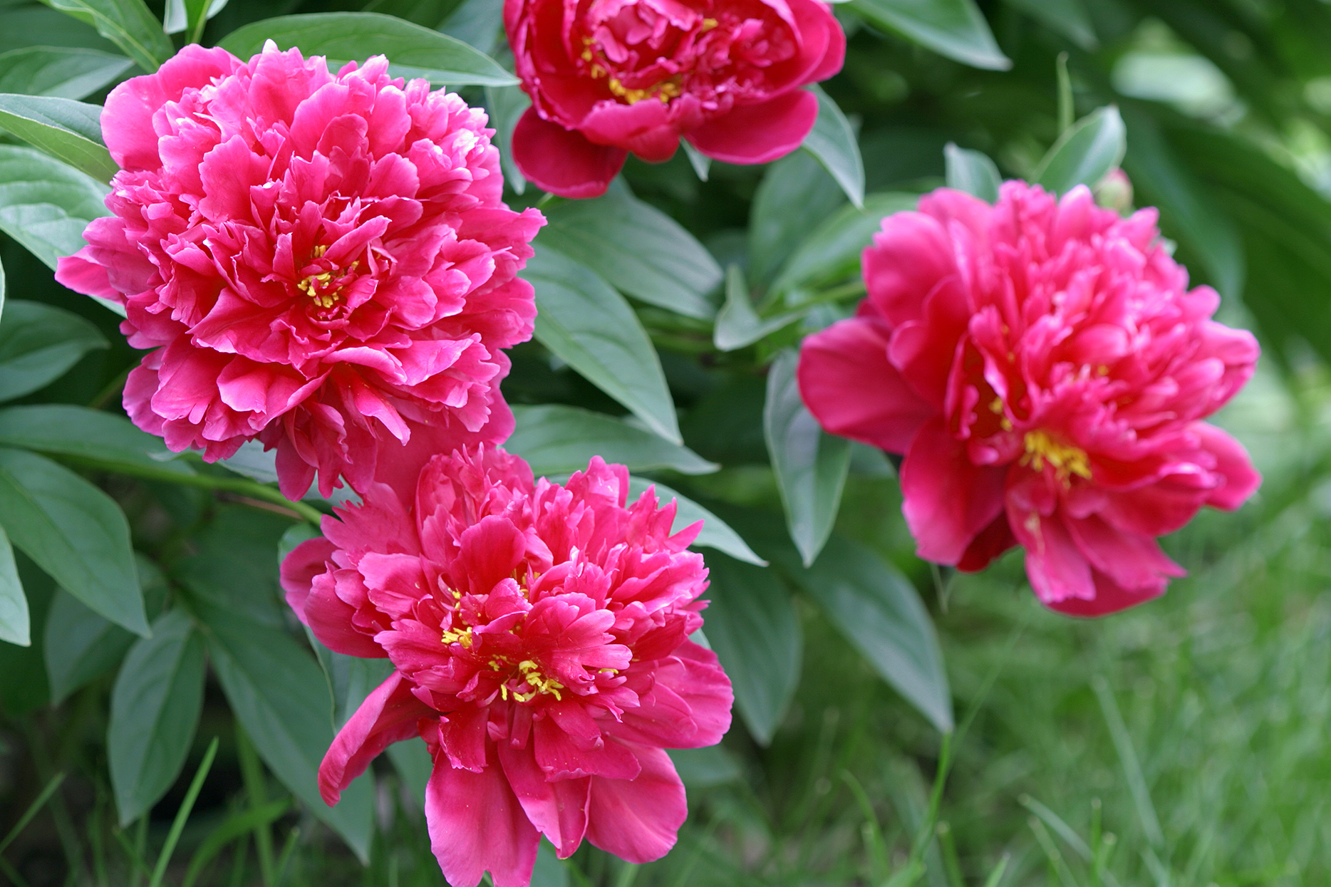 How To Transplant Peonies When They Don T Bloom As Much Better