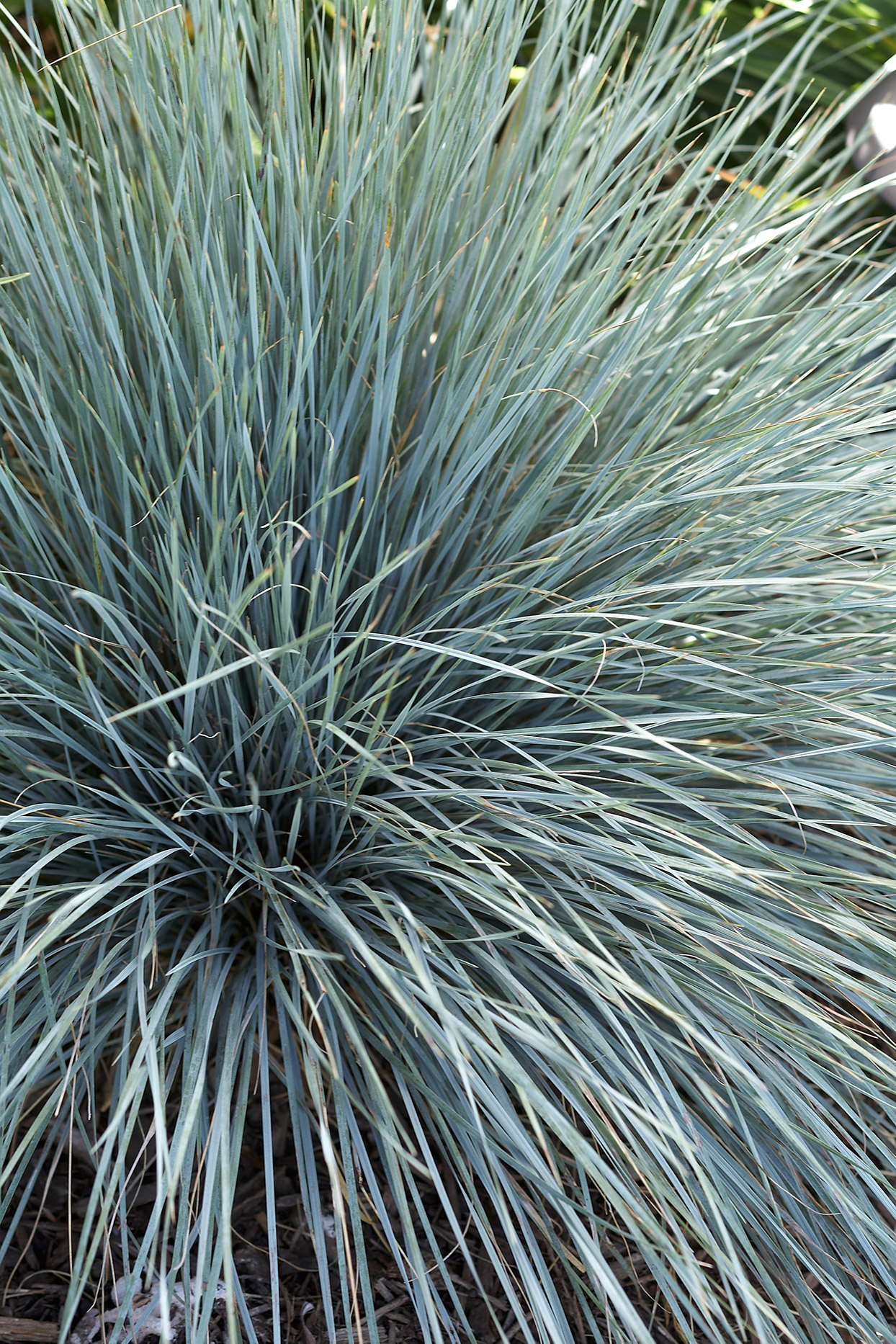 canyon prince bluish ornamental grass