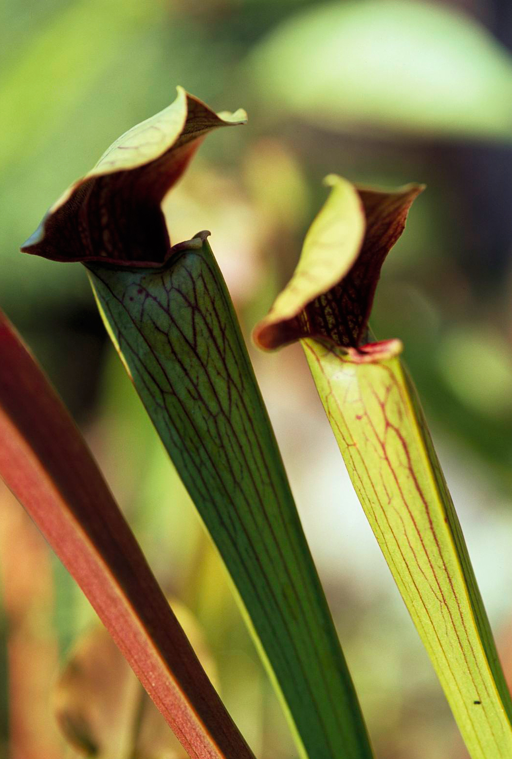 carnivorous pitcher plants