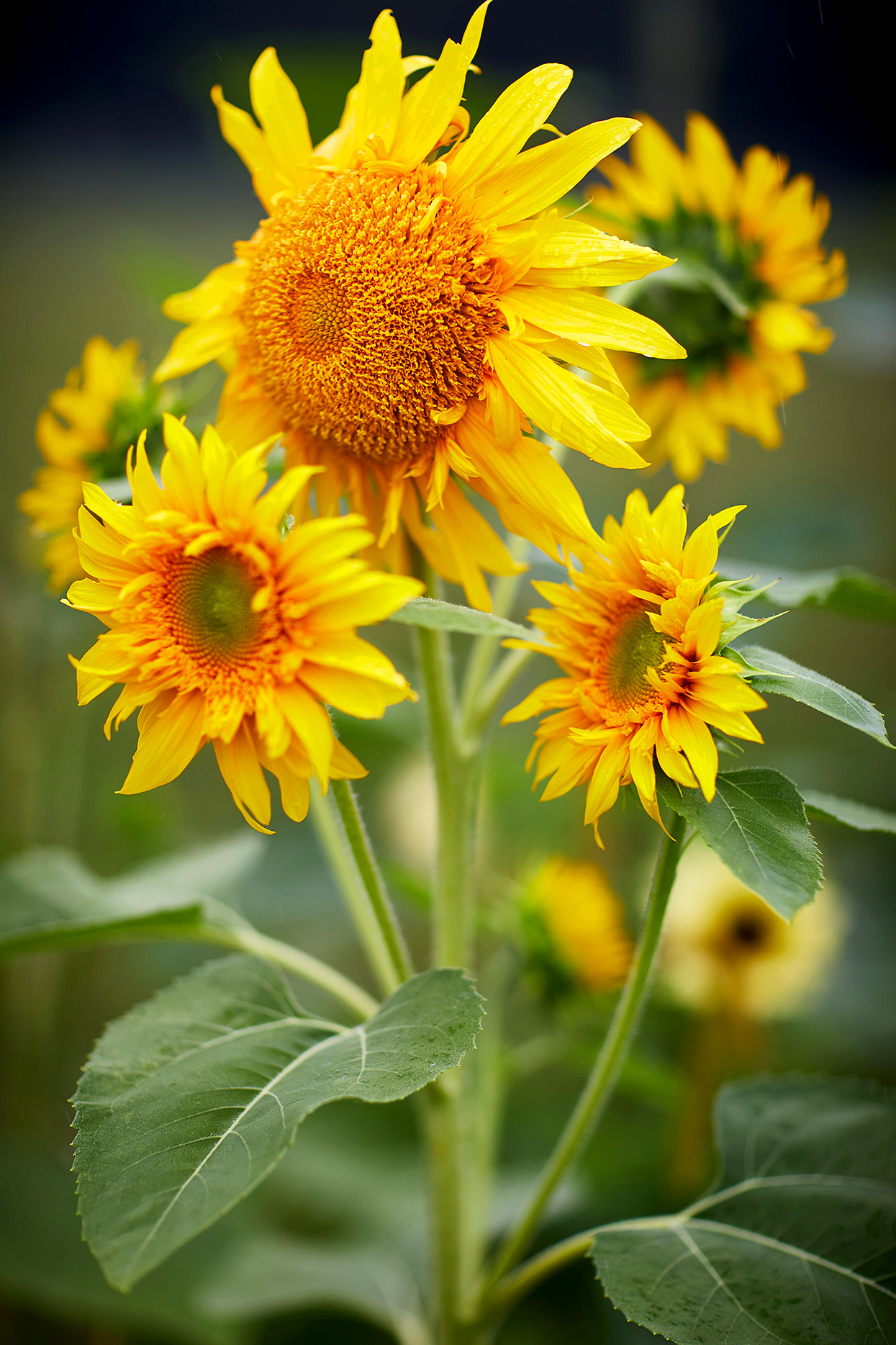 dynamic shot of sunflower blooms and foliage