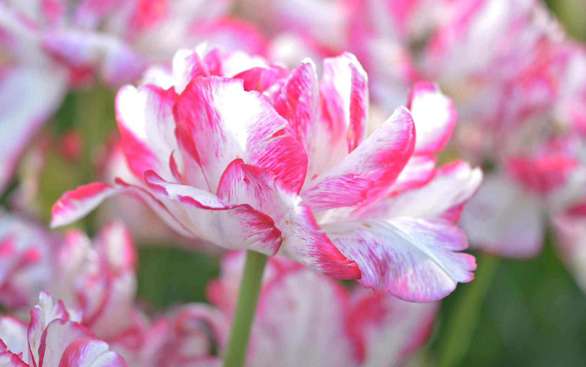 Peony tulips growing outside pink and white
