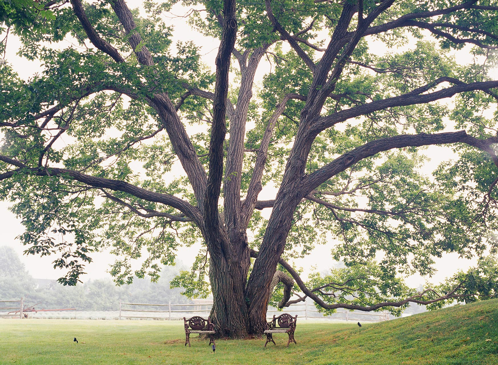 large oak tree two benches in park