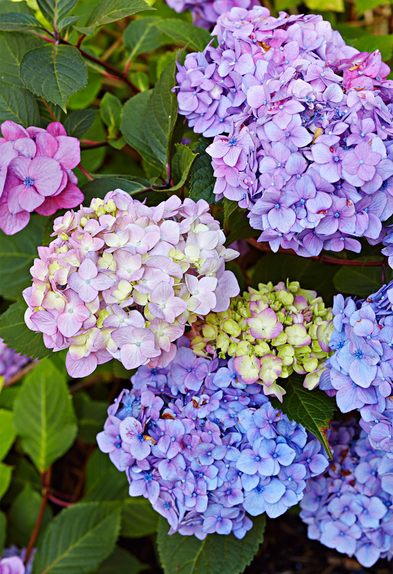 Endless Summer 'Bloomstruck' Hydrangea flowers