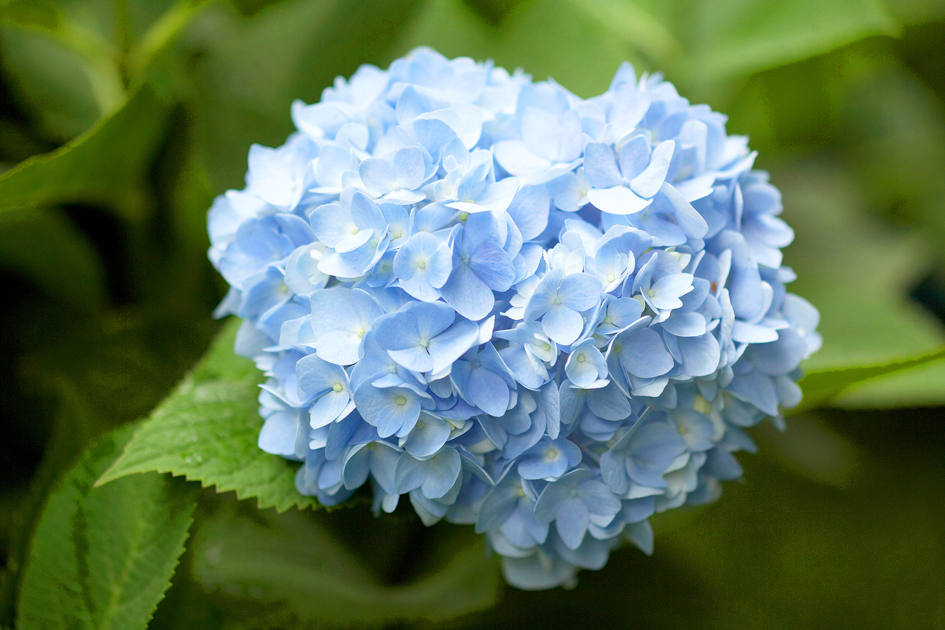 blue cluster of endless summer hydrangea