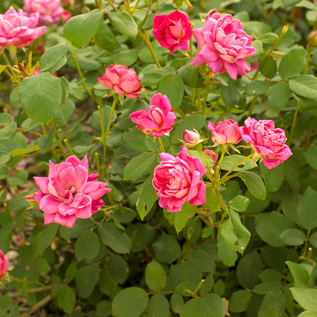 pink double knock-out rose bush