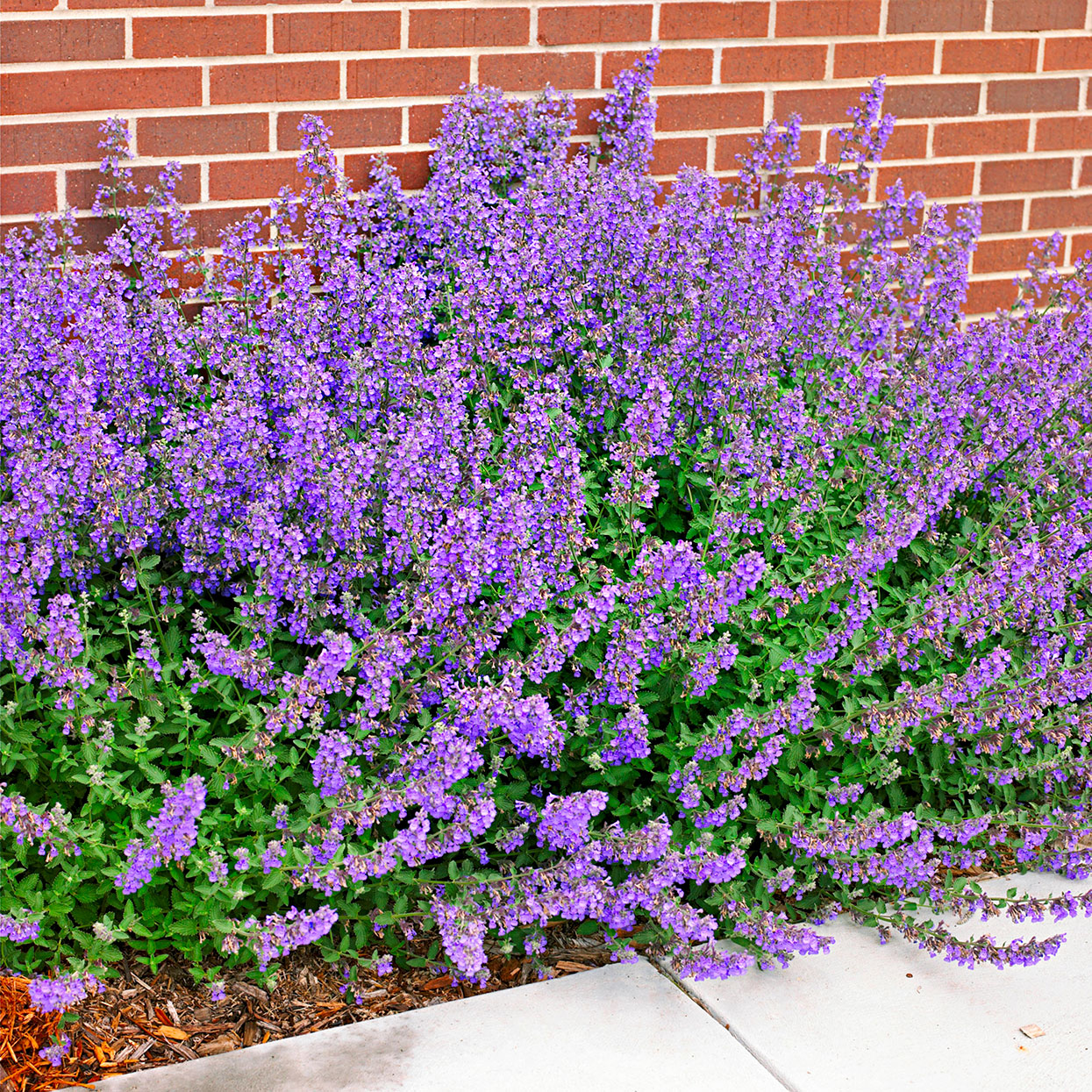 purple spikes of walkers low catmint