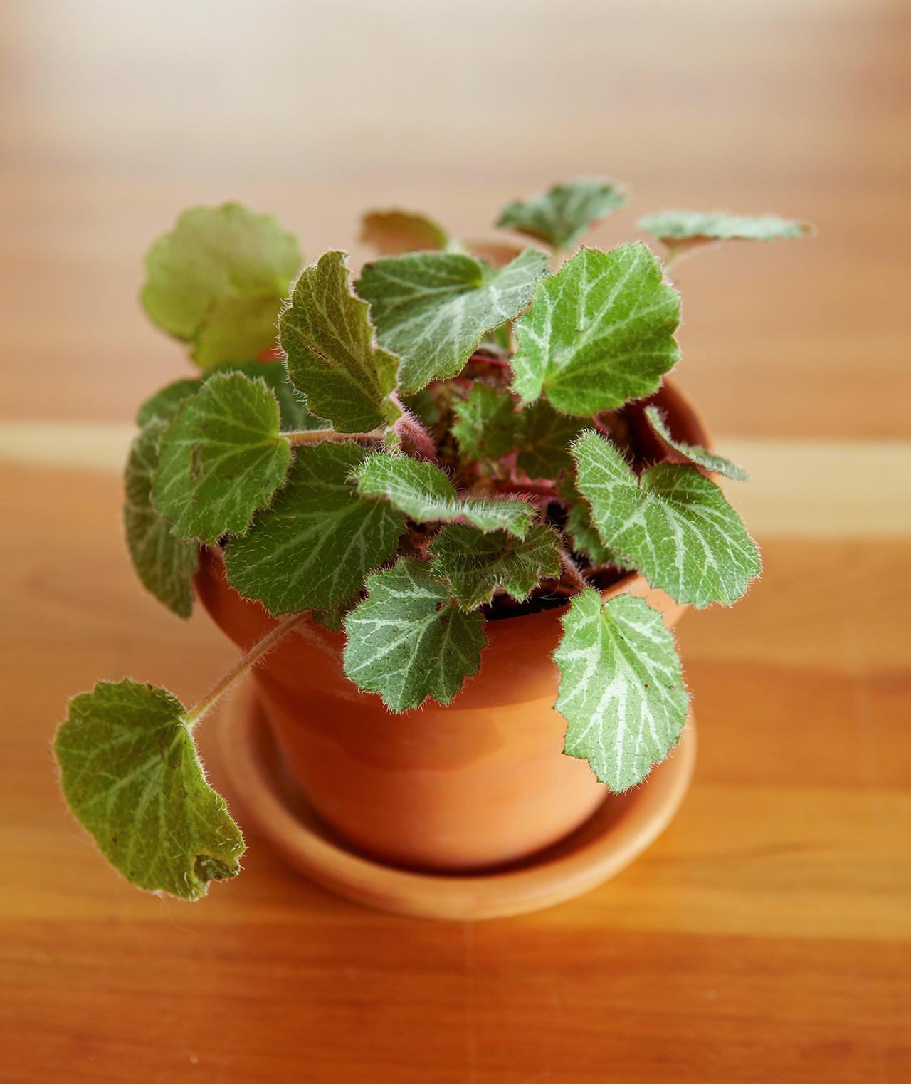 saxifraga potted plant