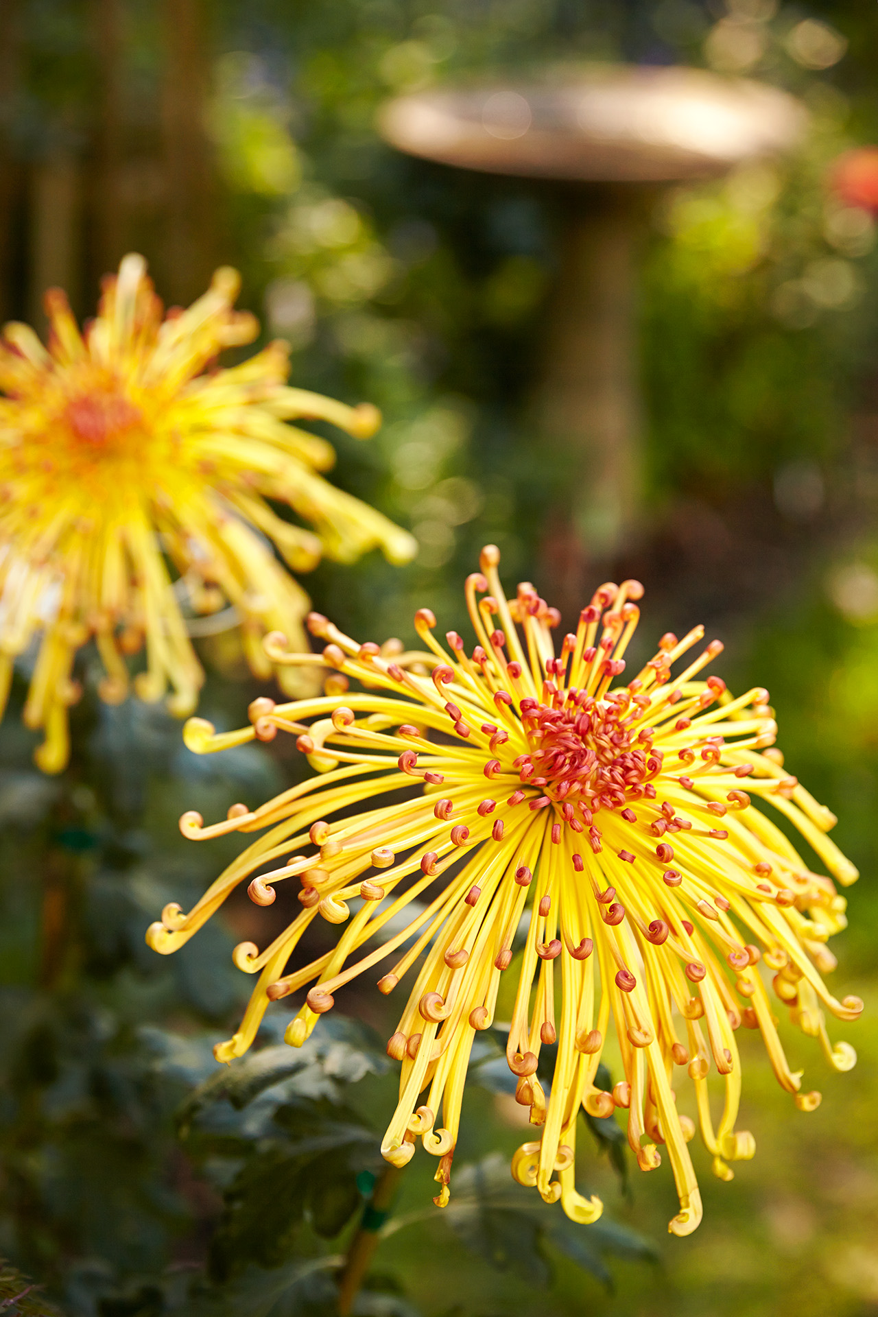 yellow spider chrysanthemum 'Lava' variation