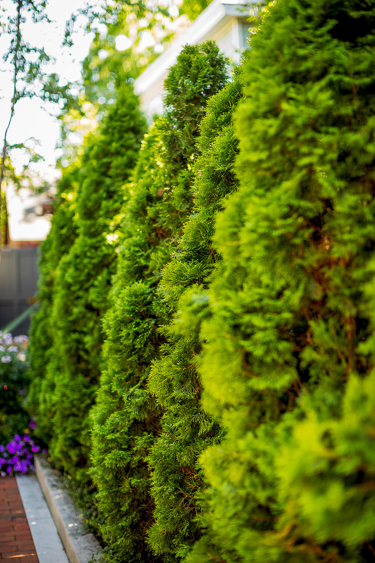 Arborvitae in a row
