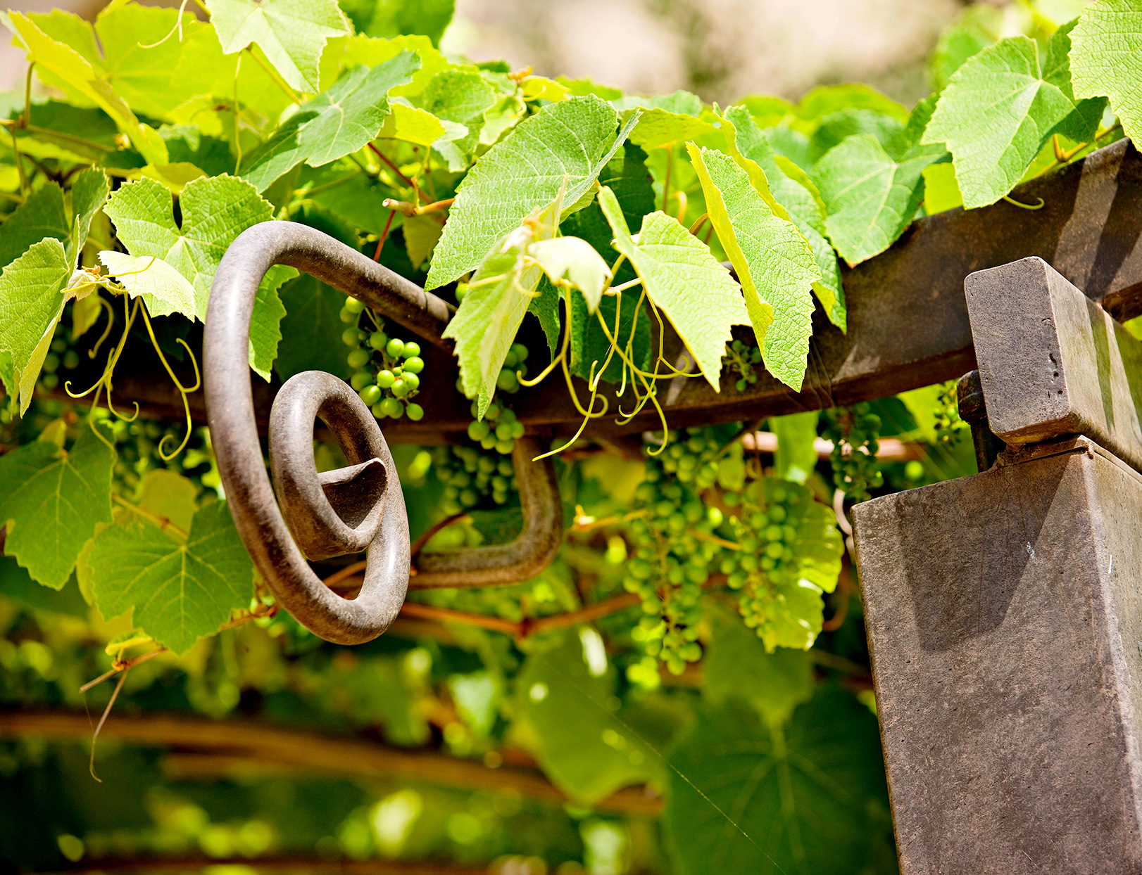 Grape vines on wooden fence