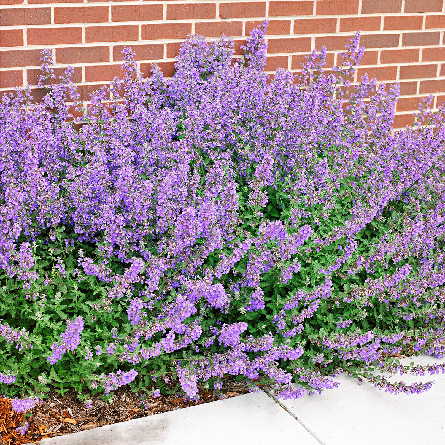 Catmint blooming in front of a brick wall