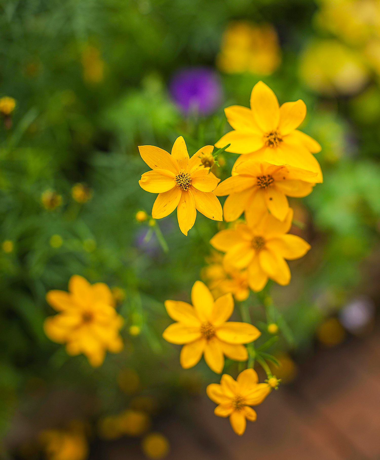 a cluster of coreopsis flowers