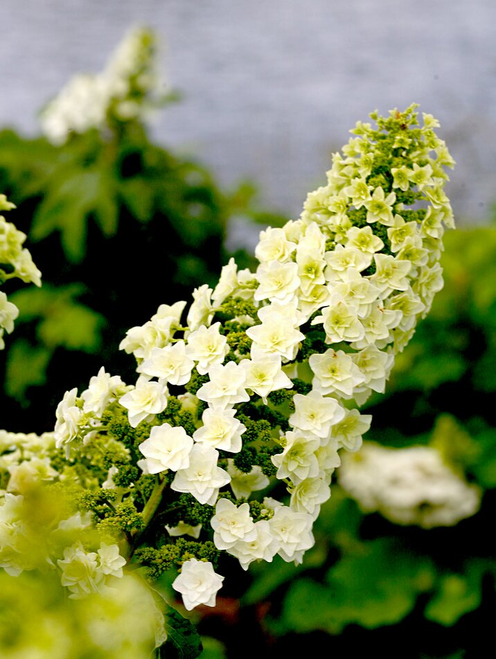 Close up of white hydrangeas