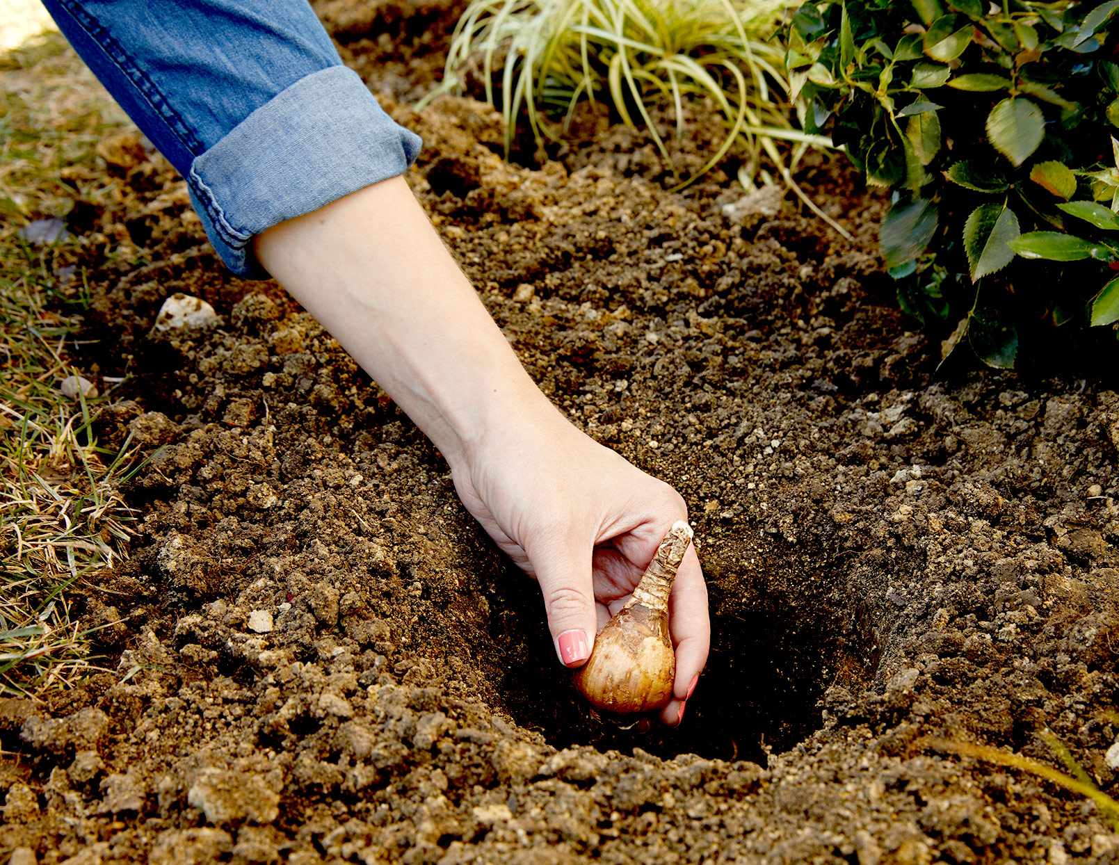 Person planting a bulb in soil