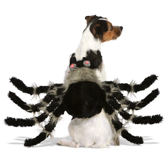 small dog wearing black and gray spider halloween costume