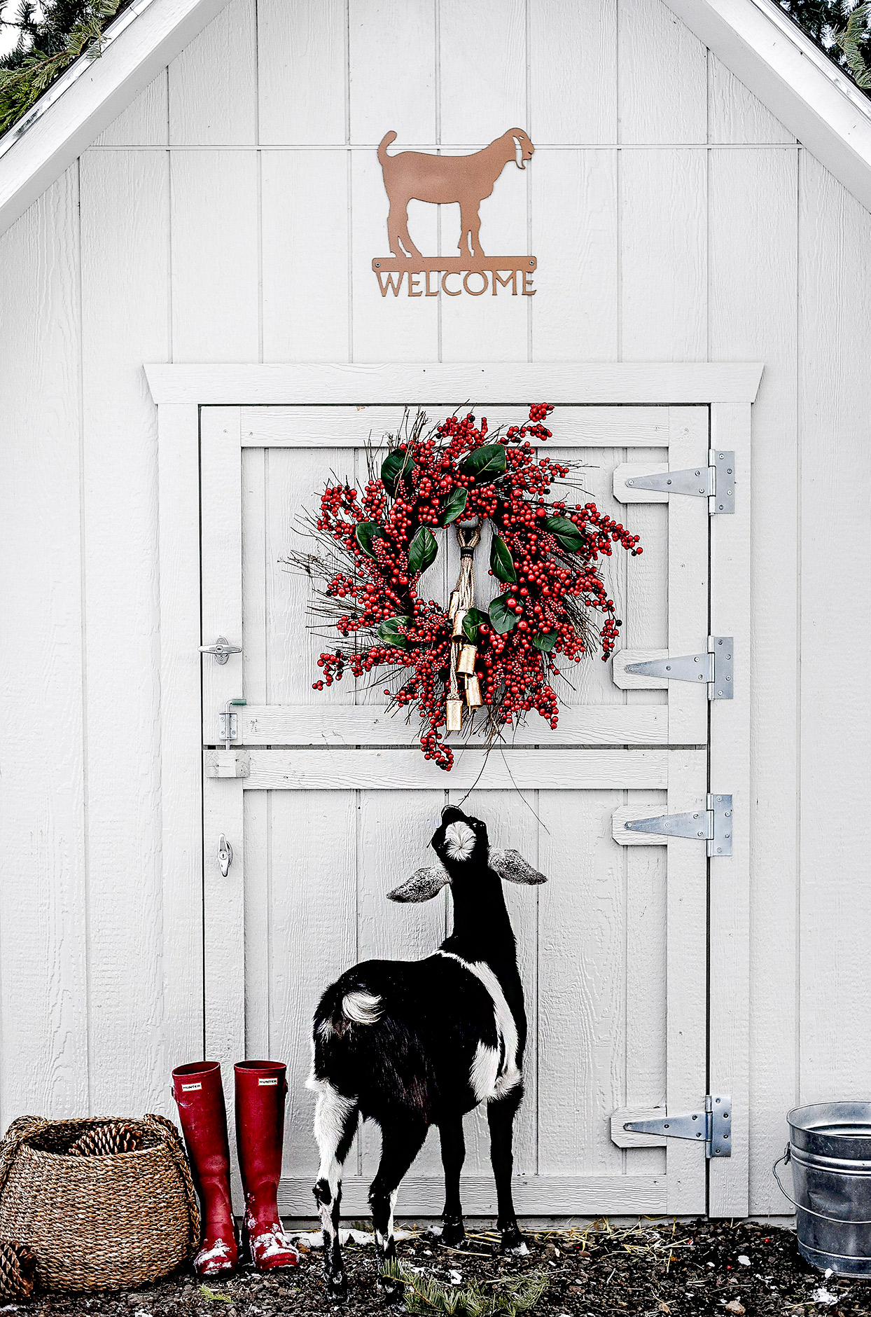 Goat in front of white shed looking at Christmas wreath
