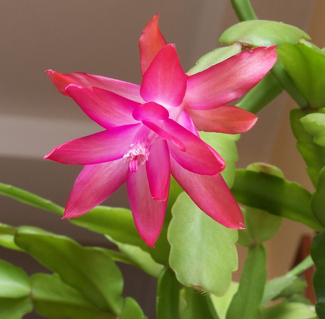 close up of christmas cactus in bloom