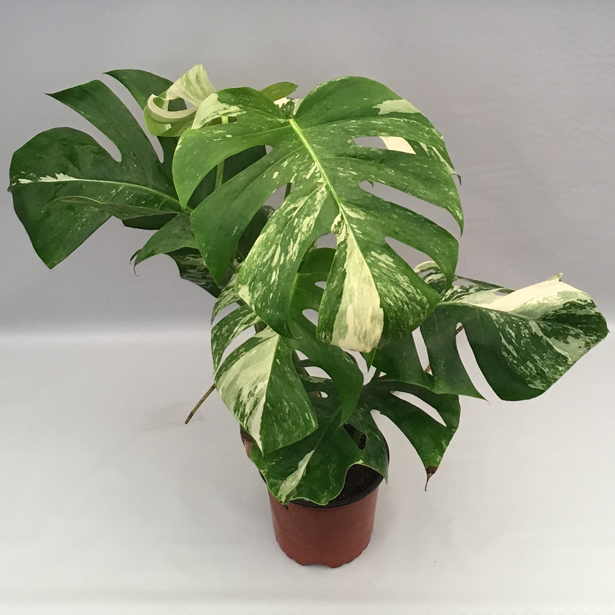 Variegated Monstera deliciosa with white striped leaves in room