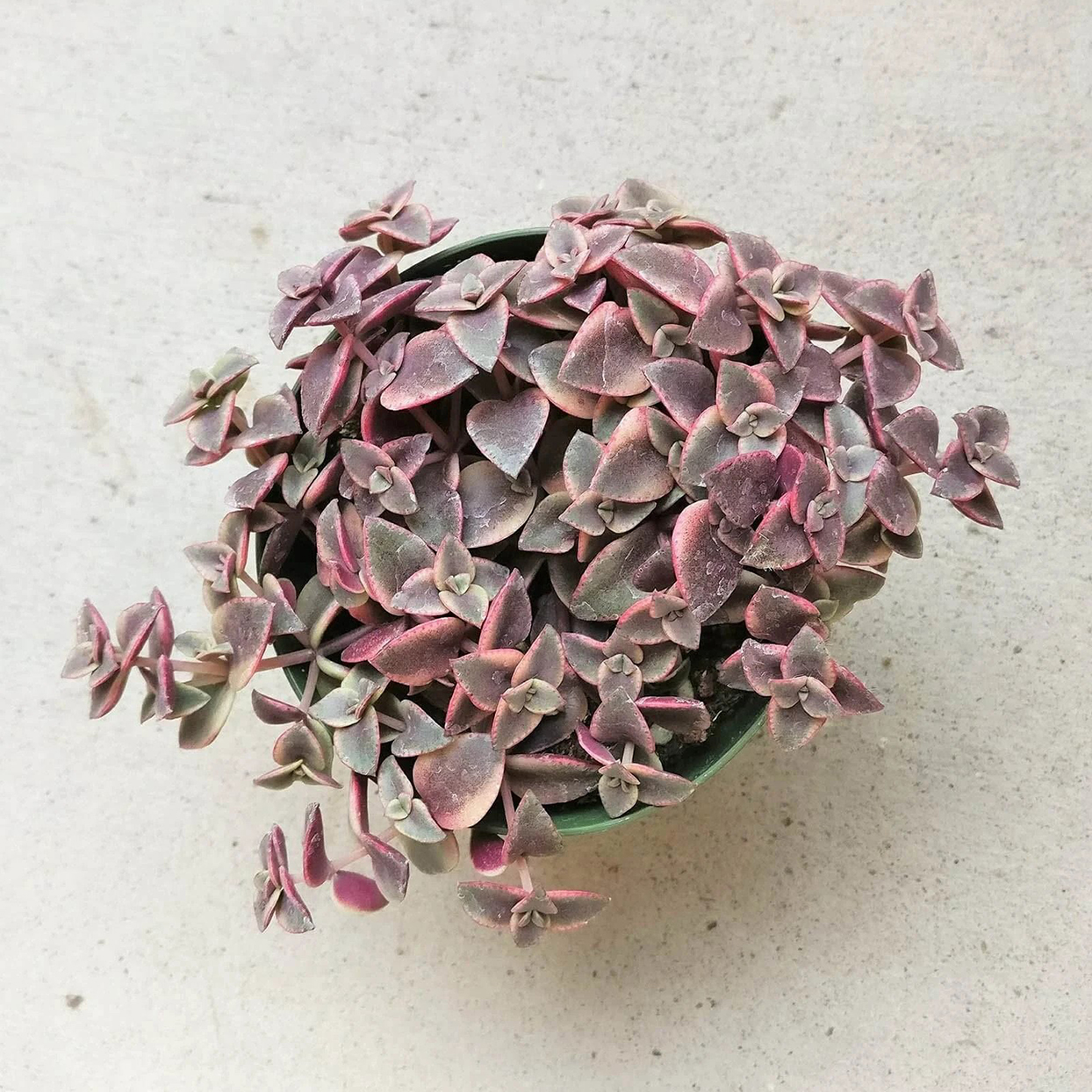 Pot of Calico Kitten Crassula on table