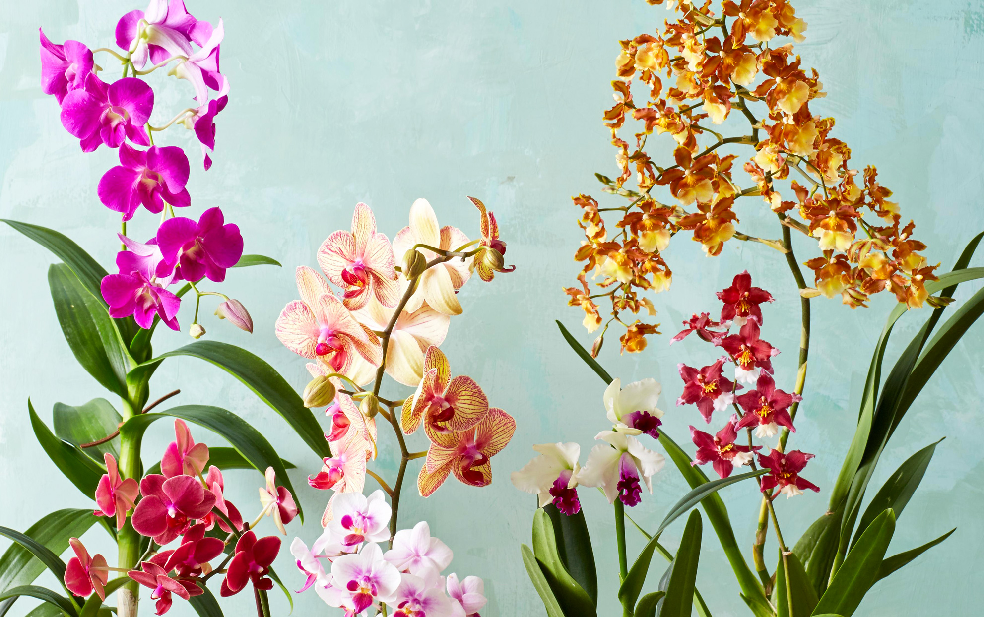 Multiple orchids on a light blue background