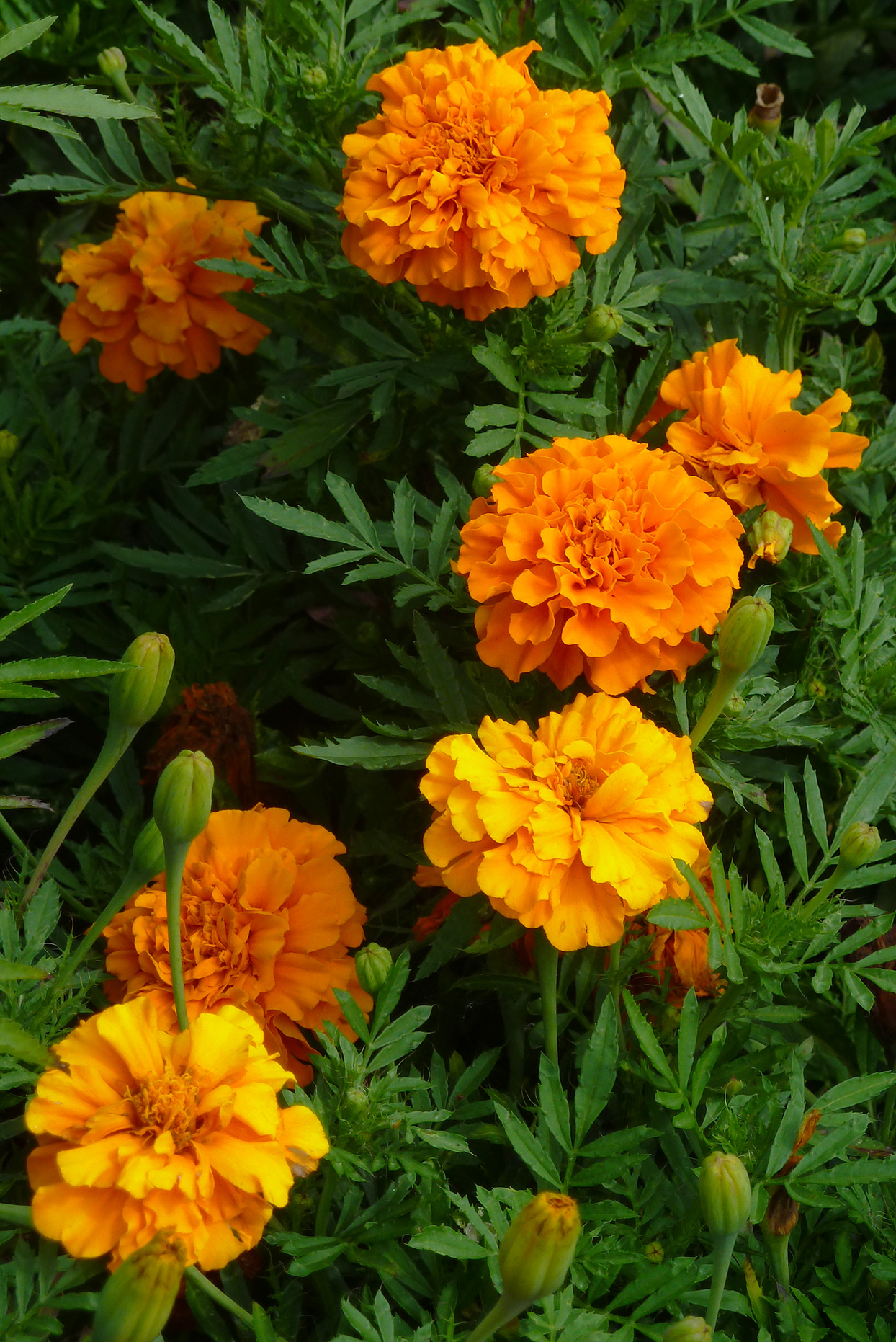 orange marigolds with green foliage
