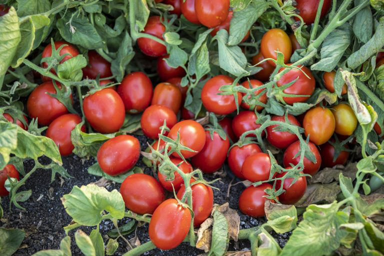 large cluster of red early resilience tomatoes growing on plant