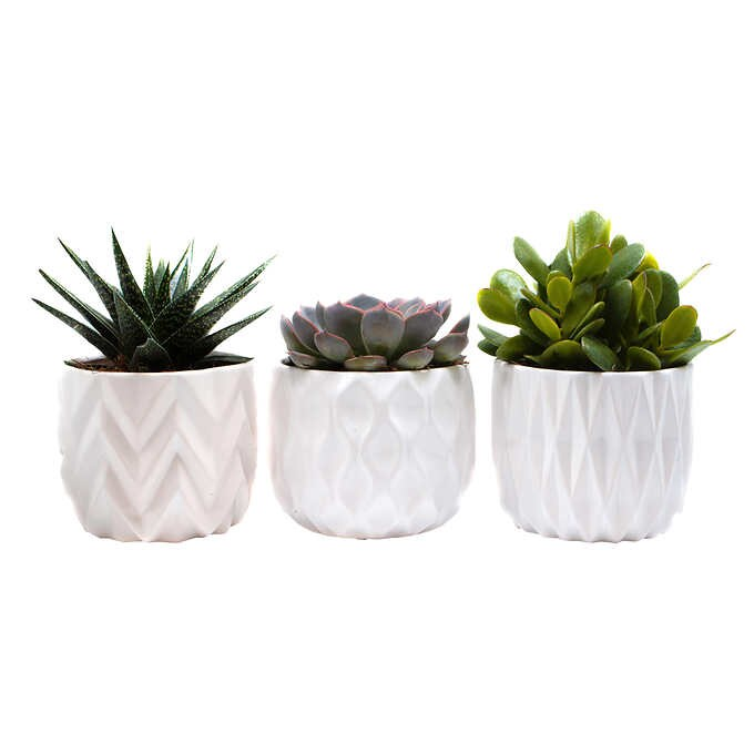 Costco's Succulents Are Here to Liven up Your Houseplant Collection