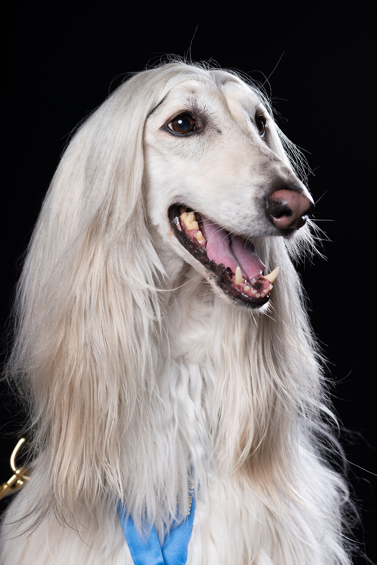 white dog with long fur