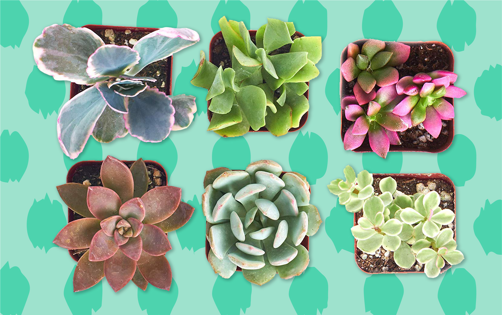 Overhead shot of succulent plants on a green background